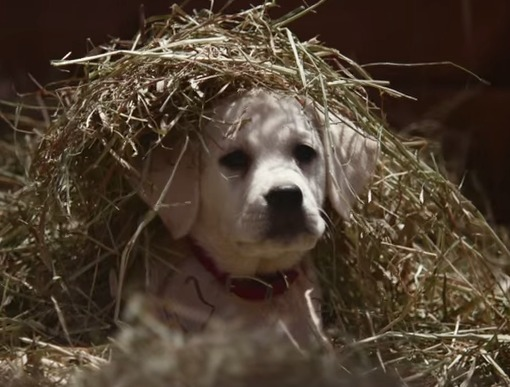 The Battle for the Best Super Bowl Ads: Budweiser Puppy, Snickers and More!